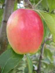 Кандиль Синап - крымский аборигенный сорт яблони. Фото из питомника Волковых (Донское, Симферопольский район)